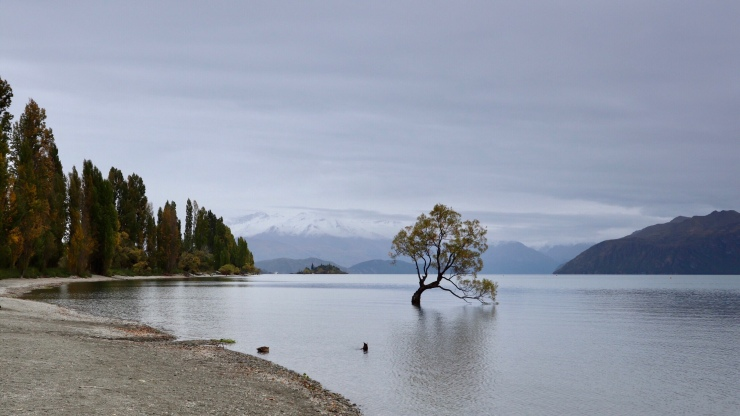 Lake Wanaka Tree