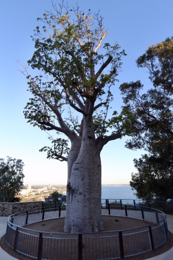 Kings Park – Boab Tree