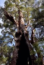 Giant Tingle Tree